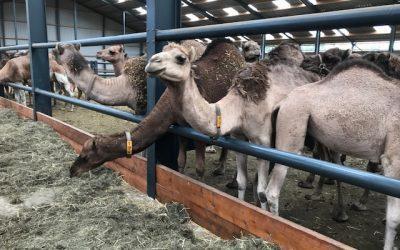 Uitstapje HVD kamelenmelkerij